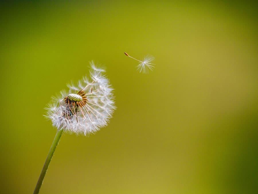 pusteblume-klein